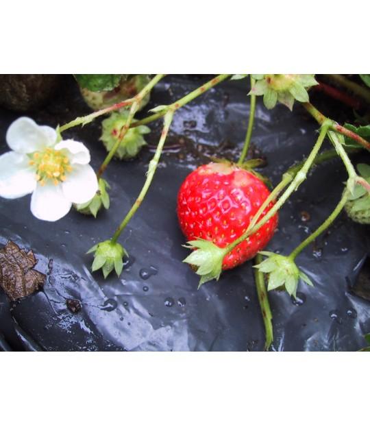 Jordbærfolie svart 1,4x500m, 45my