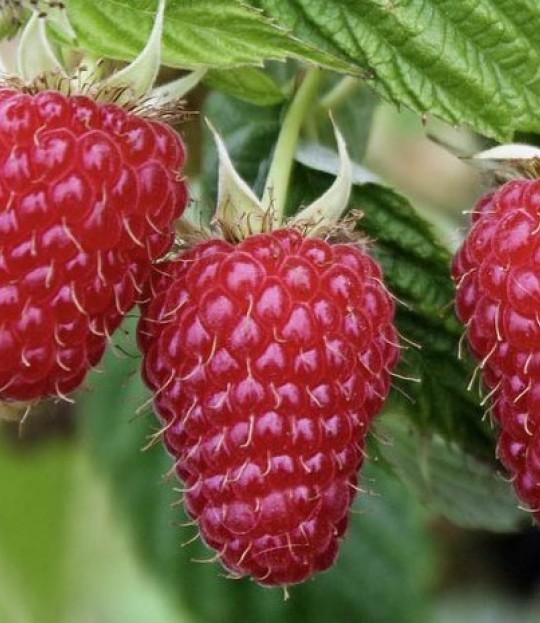 Bringebær plante Glen Ample, pris pr plante 1-99 stk