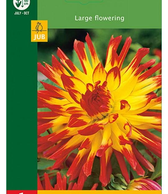 Blomsterknoll Georgine Cactus Rød-Gul 1 stk