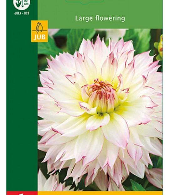 Blomsterknoll Georgine Rosa-Hvit 1 stk