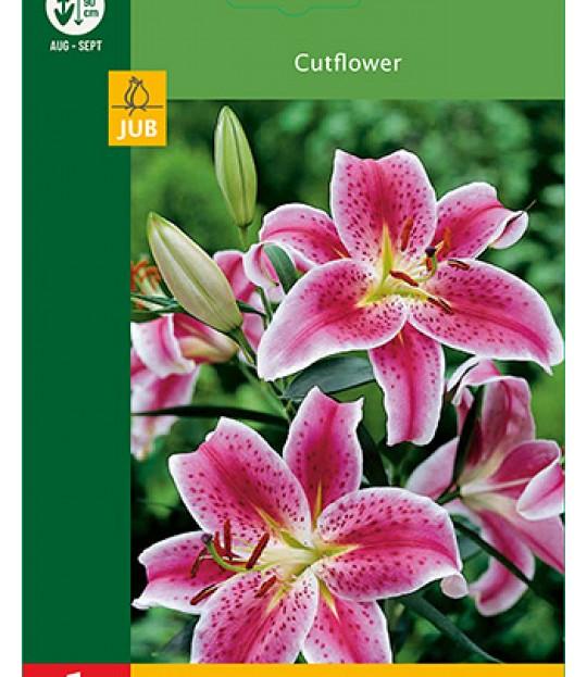 Blomsterløk Lilje Oriental Rød-Hvit 1 stk