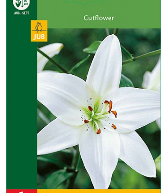 Blomsterløk Lilje Asiatic Hvit 1 stk
