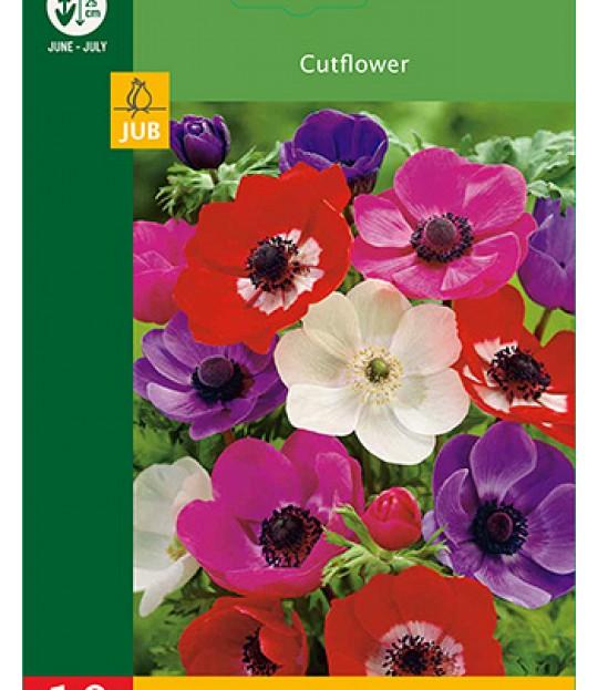 Blomsterløk Symre Anemone de Caen 10 stk