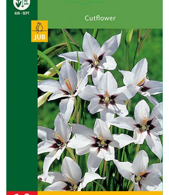 Blomsterløk Gladioler Callianthus 10 stk